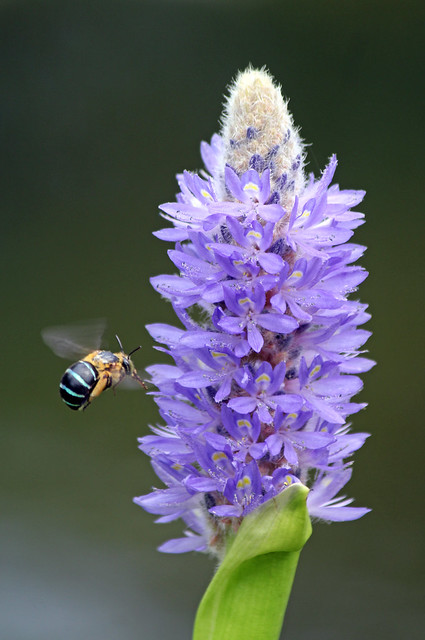 Blue Banded Bee 017, Canon EOS 700D, Canon EF-S 55-250mm f/4-5.6 IS II