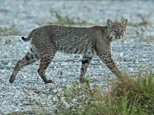 Bobcat DPP 01-20181119