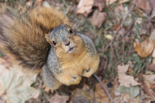 170/365/3822 (November 28, 2018) - Fox Squirrels in Ann Arbor on an Autumn day at the University of Michigan - November 28th, 2018