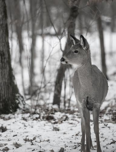 White-Tail Deer, Wild River State Park, Minnesota