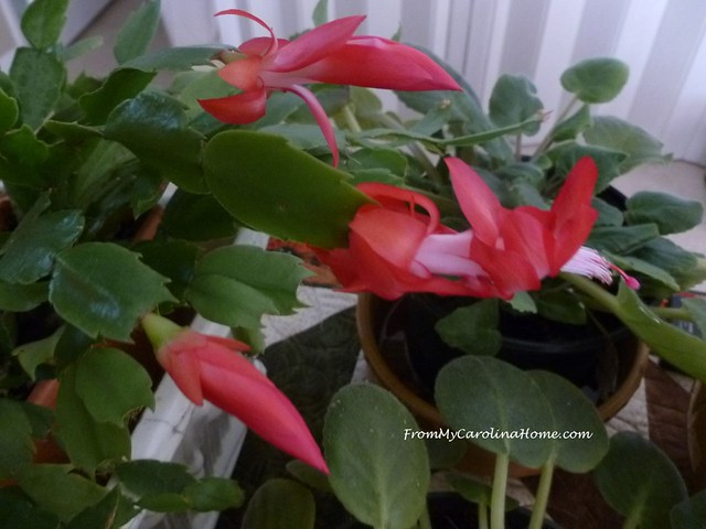 Thanksgiving Cactus 2018 Blooms at FromMyCarolinaHome.com
