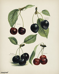 The fruit grower's guide : Vintage illustration of cherry