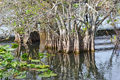 Strangler Fig, Florida, Dade County, Everglades National Park  see text on other