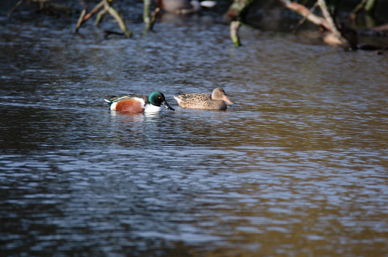 Shoveller pair swimming by, West Park