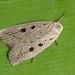 Silky Wainscot (Chilodes maritimus forma bipunctata).