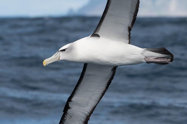 Shy Albatross, Nikon D500, AF-S Nikkor 200-500mm f/5.6E ED VR