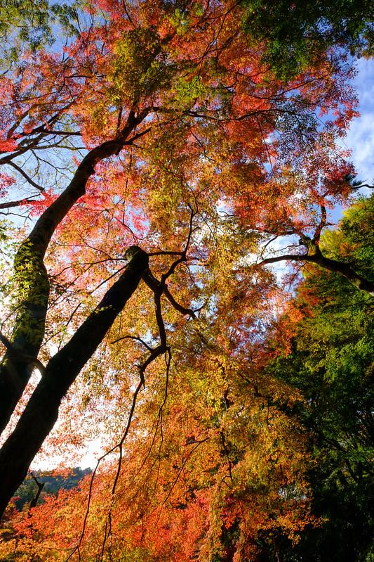 Autumn Japanese Maple Tree