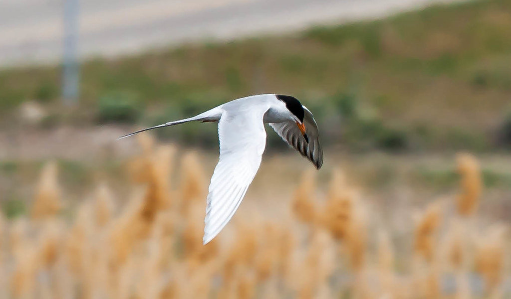 Foresters Tern (1 of 1)