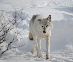 wolf outside RLVC
