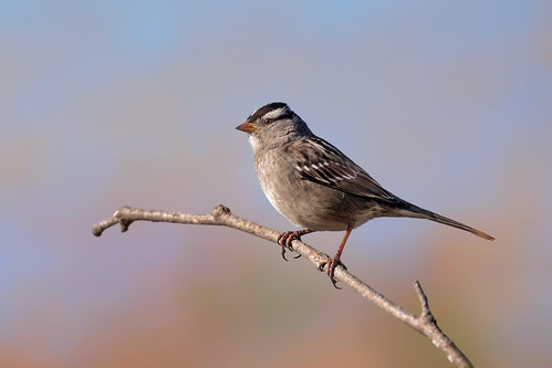 Our Native Sparrow