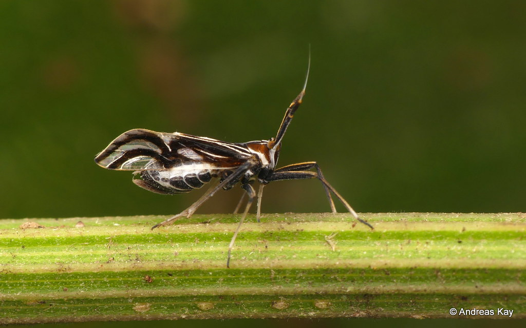 Delphacid planthopper, Delphax sp.? Delphacidae