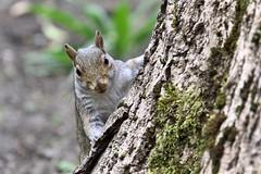 Sheffield Botanics' Squirrels