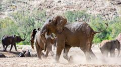Huab Desert adapted Elephants