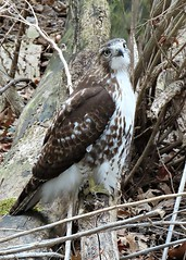 Angelic Red-tailed Hawk