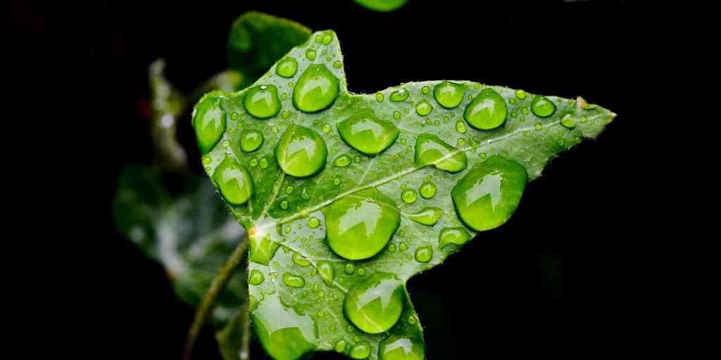 le-lierre-génétiquement-modifié-air-purification