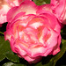 20181120_7857_7D2-70 Different Day, Different Rose (324/365) by johnstewartnz