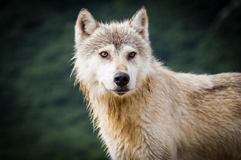 photo of  Gray Wolf in Amalik Bay on the Katmai coast