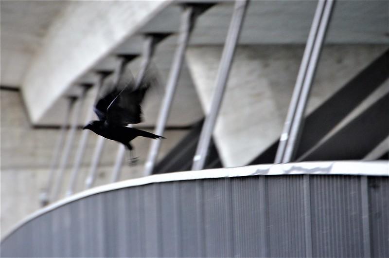 Crow 03.11 (4)