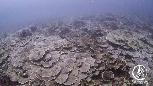 深場はリュウキュウキッカサンゴ群♪