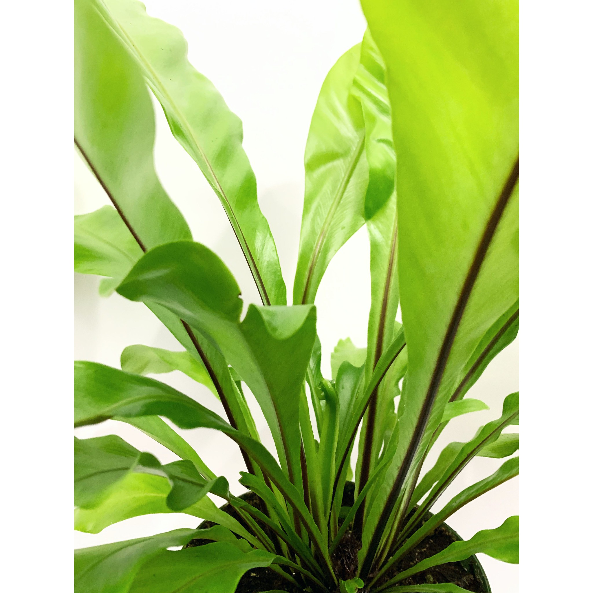 Birds Nest-Fern