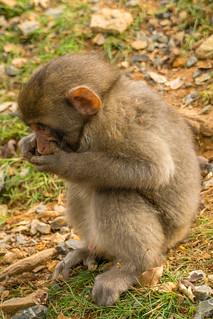 Arashiyama Monkey Park Iwatayama Summit Observatory, Nishikyo Ward, Kyoto - Japan