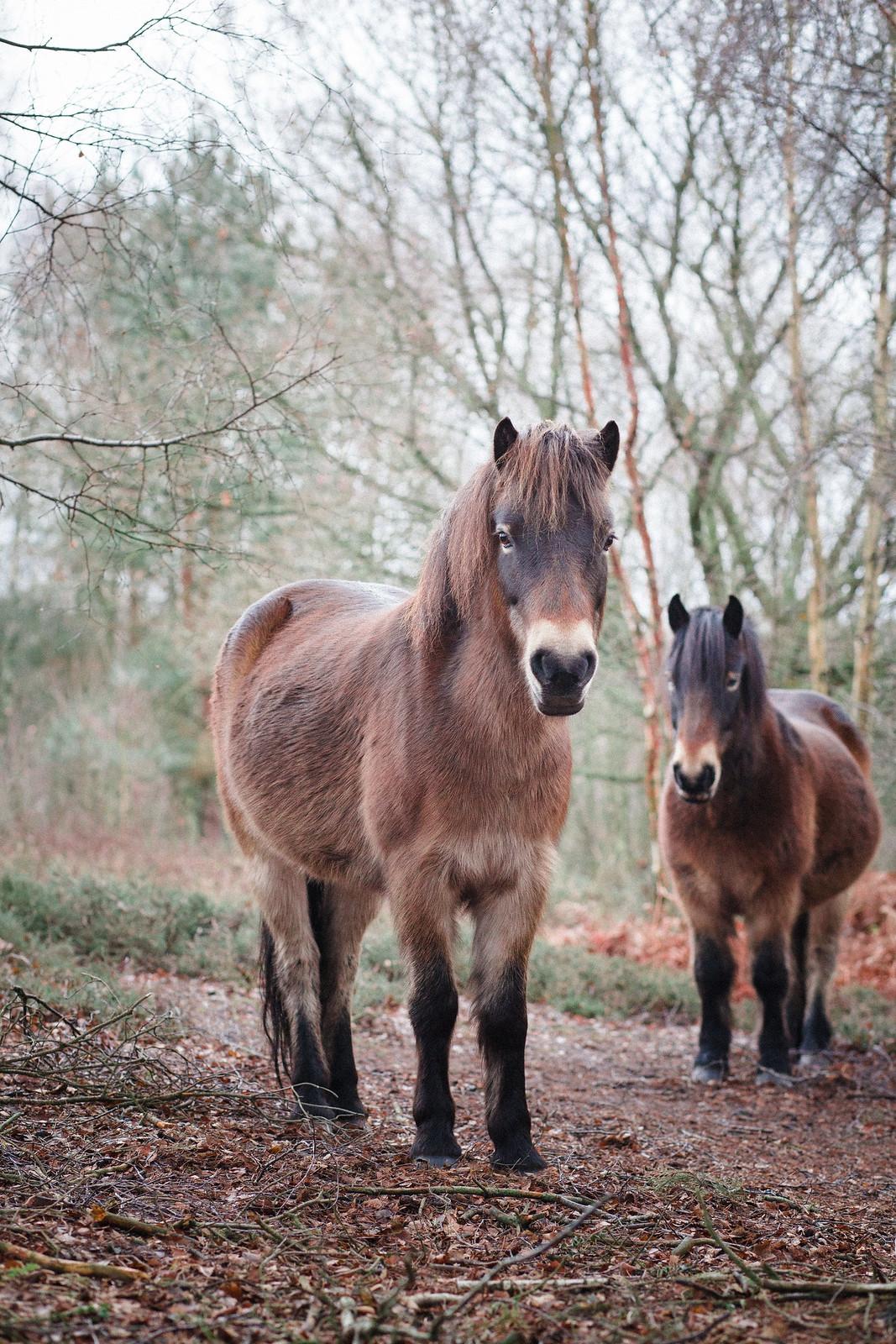 Wild Exmoor Ponies in Sutton Park
