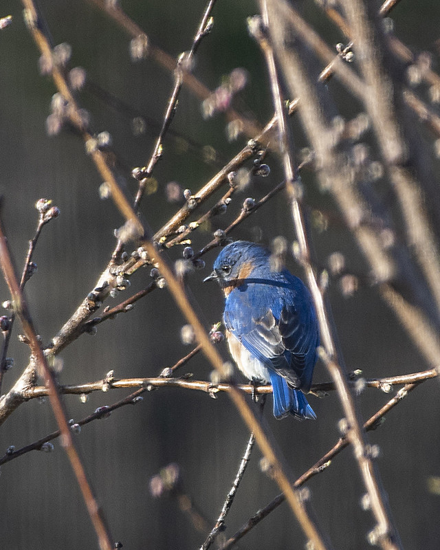 Male Male Bluebird with Peach Buds