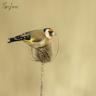 Putter / Goldfinch - 7005 | by Sjors loomans