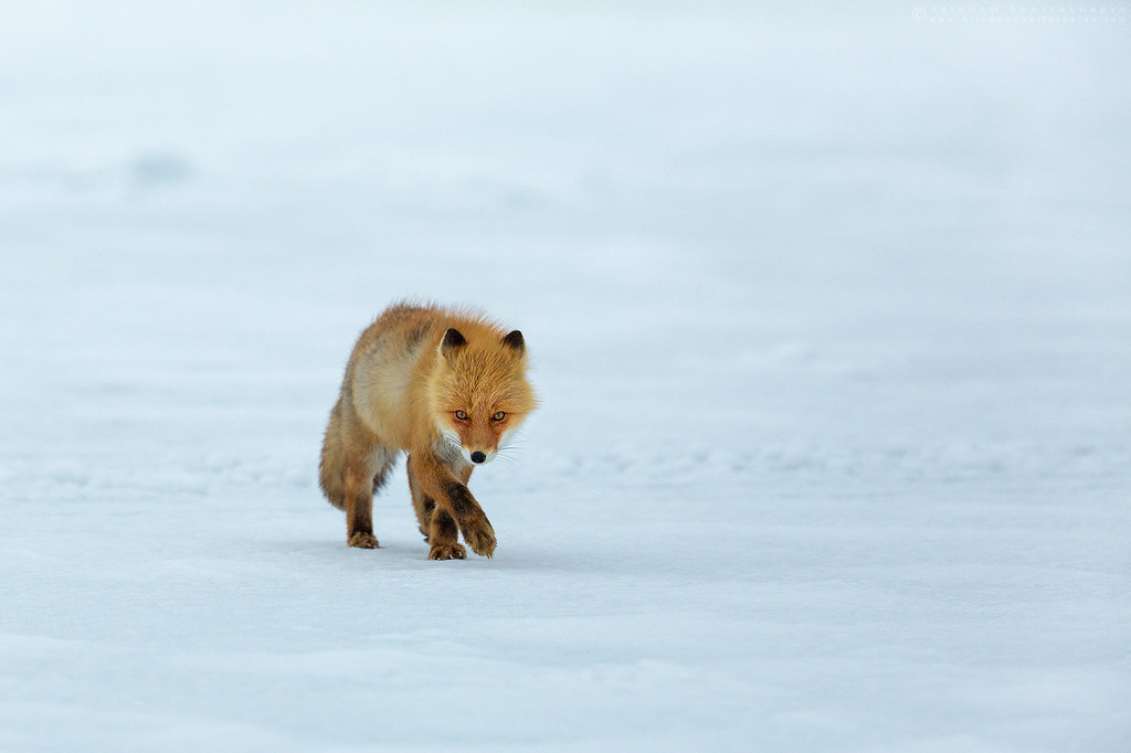 Ezo Red Fox on the frozen lake in Nemuro, northern Japan by Arindam Bhattacharya