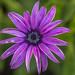 african daisy por ikarusmedia