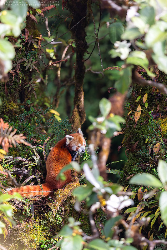 Endangered Red Panda or Ailurus fulgens in Singalila National Park, Himalaya by Arindam Bhattacharya