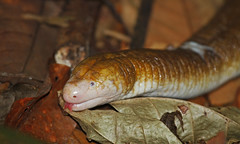 Legless Worm Lizard - Amphisbaena alba