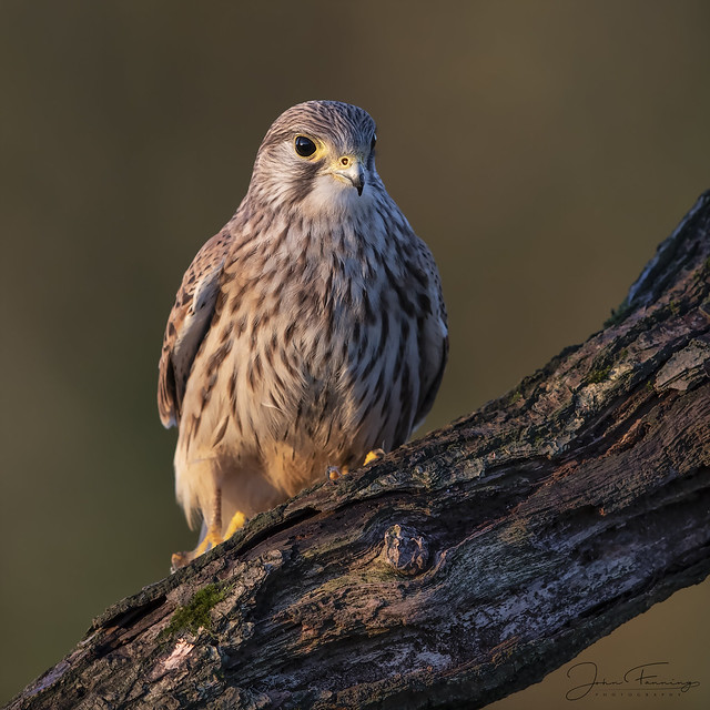 Kestrel (f) in First Light