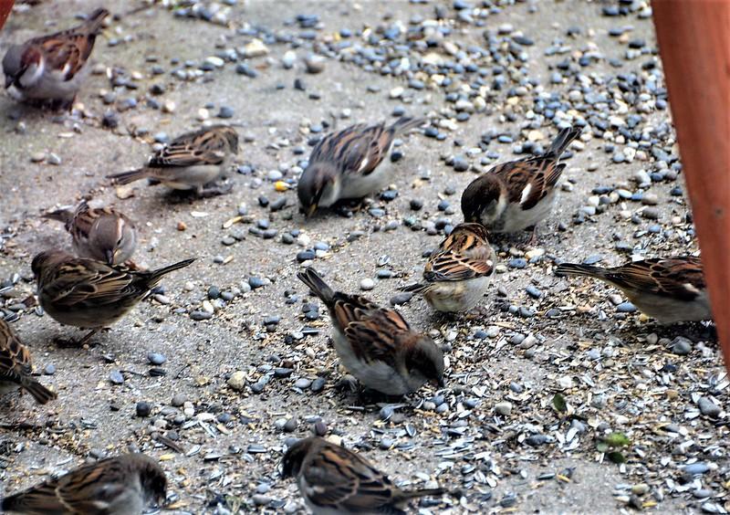 Sparrows 15.12 (14)