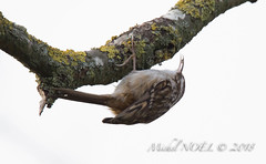 Grimpereau des jardins - Certhia brachydactyla - Short-toed Treecreeper : Michel NOËL © 2019-8681.jpg