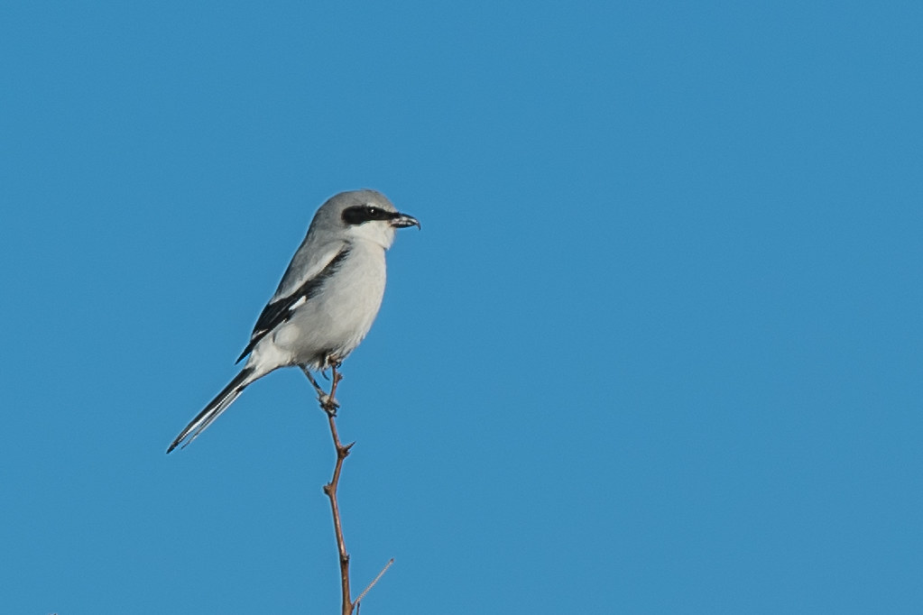 Logger-head Shrike-1
