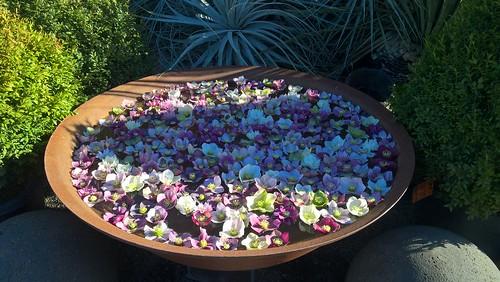 Helleborus Flower Bowl