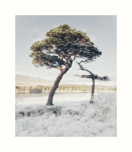 The Scots  Pines on Loch Tulla