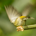 Cigüita Tigrina, Cape May Warbler  (Setophaga tigrina)