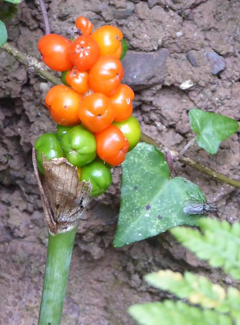 Cuckoo Pint (Arum maculatum) growing alongside Fishchowter's Lane