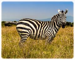 Kenyan Zebra