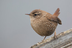 Winter Wren-Cecil Co., MD 12/14/18