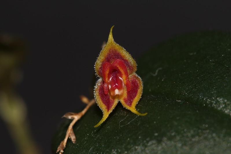 Miniatur-Orchideen Teil 4 - Seite 25 46105373421_3bb8776f72_c