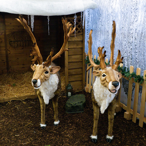 Reindeer, Codsall and Wergs Garden Centre (Merry Christmas)