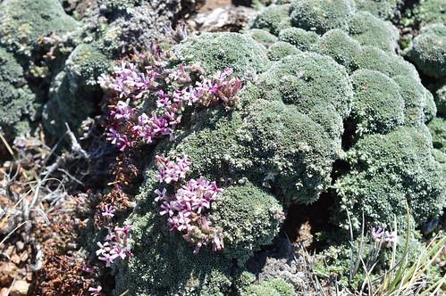 DSC_0334 Junellia patagonica pinkflower ジュネリア パタゴニカ 桃花