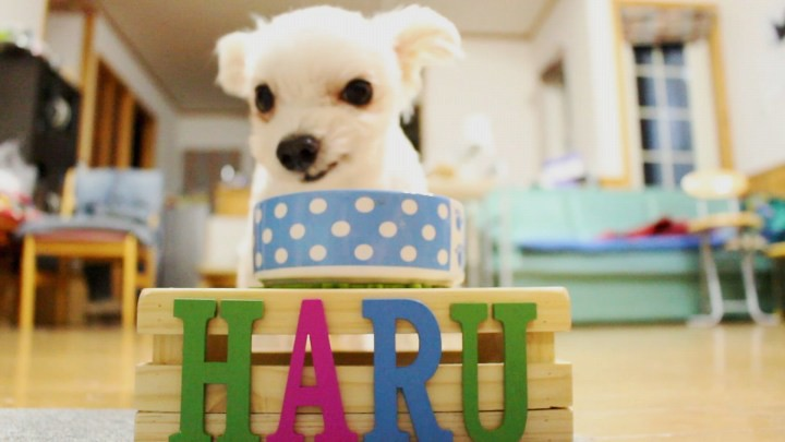 犬のテーブルを使うマルプーはる