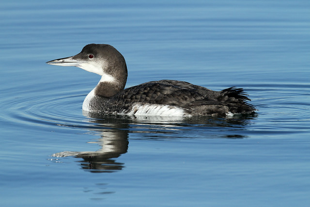 Gavia immer (Common Loon) - Semiahmoo, WA