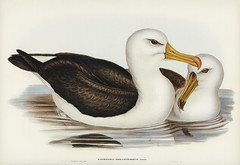 Black-eyebrowed Albatros (Diomedea melanophrys) illustrated by Elizabeth Gould (1804–1841) for John Gould's (1804-1881) Birds of Australia (1972 Edition, 8 volumes). Digitally enhanced from our own facsimile book (1972 Edition, 8 volumes).