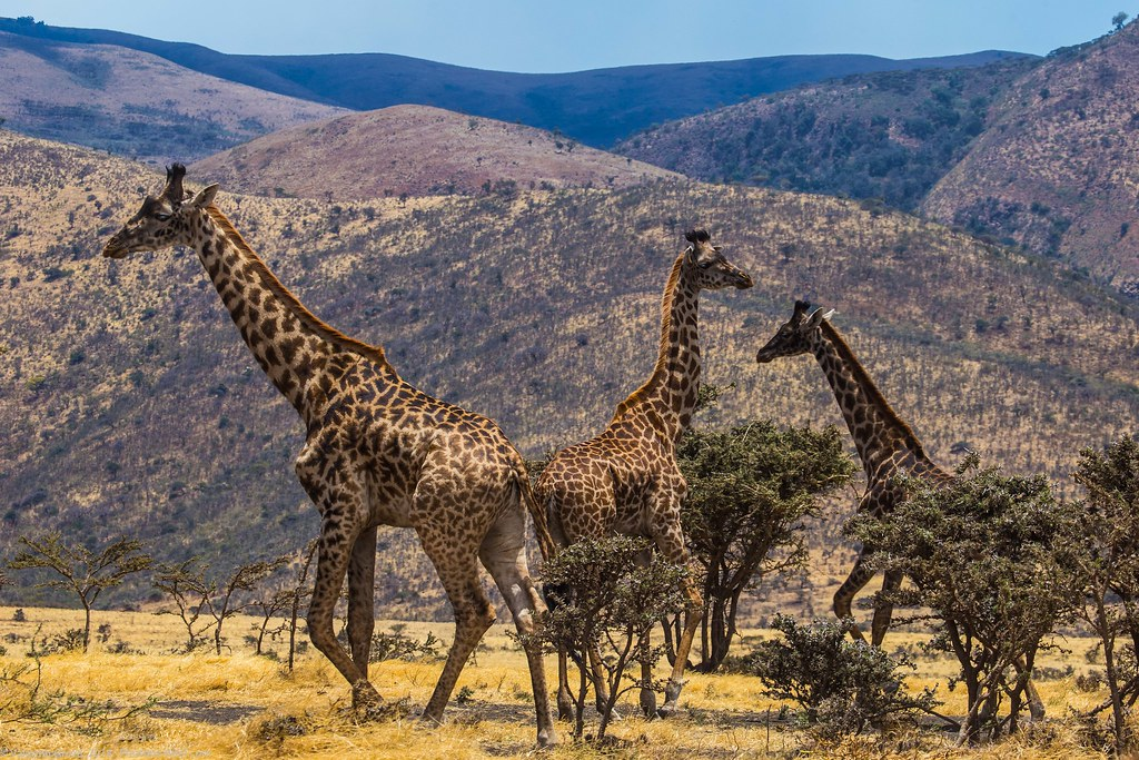 Girafe_septembrie 10_Serengeti_3
