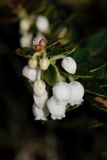Pernettya prostrata (Ericaceae)